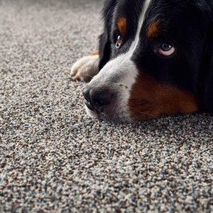 Pet friendly floor | Shans Carpets And Fine Flooring Inc